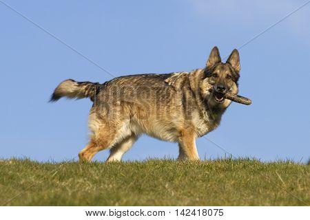 German Shepherd Dog On Hill Top