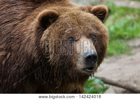 Mainland grizzly (Ursus arctos horribilis). Wildlife animal.