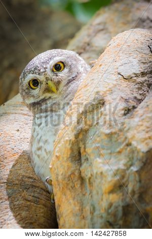 Owl hiding on tree hole, natural wildlife landscape background