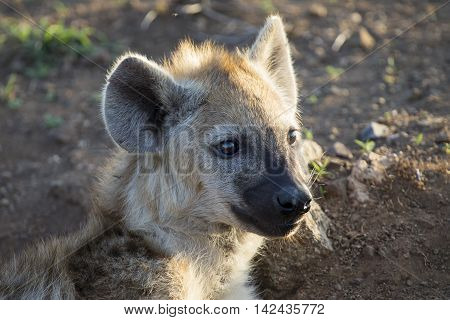 Two hyena lying down looking and observing the young