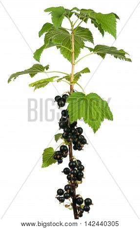 Tasty black currants on a branch isolated over white background