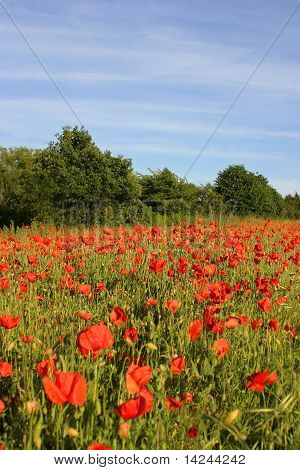 Field of poppies with blue sky