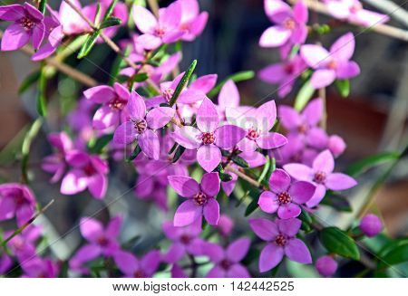 Pink flowers of Australian native Boronia growing in Eucalyptus woodland, Royal National Park, Sydney, Australia