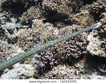 Trumpetfish surprised by diver in tropical sea