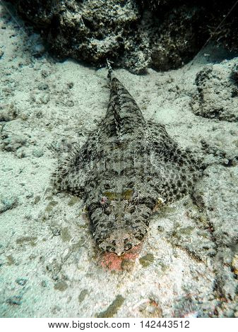 Crocodilefish in tropical sea hunting for food
