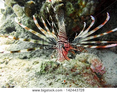 Red Lion fish iquiet n tropical sea