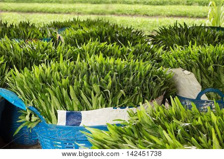 Chinese water convolvulus (Morning Glory) fresh from farm preparing for sale
