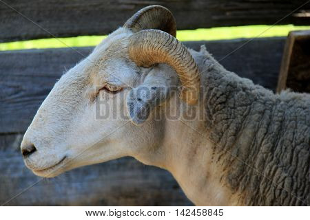 Close-up image of ram standing in barn, cooling off from summertime heat