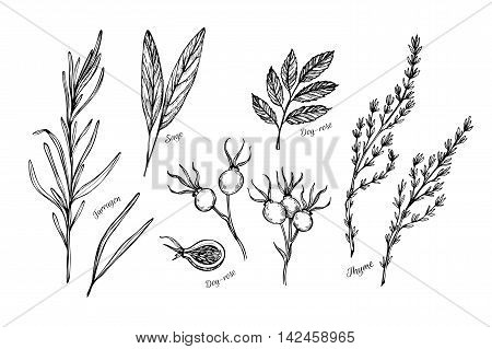 Hand Drawn Vintage Illustration - Herbs And Spices (sage, Tarragon, Wild Rose And Thyme). Vector