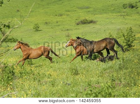 herd of horses walking on the hills among the bushes and trees on a large green field