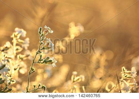 White Campion (Silene latifolia) at dawn. August, Poland.