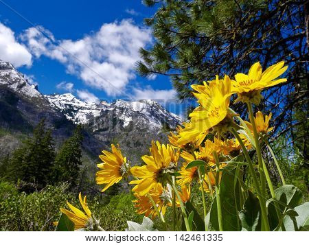 Yellow flowers, trees and snow capped mountains. Fourth of July Trail near Leavenworth and Seattle Washington state USA.