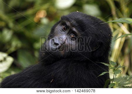 Mountain Gorilla (Gorilla beringei beringei) in Bwindi Impenetrable National Park Uganda