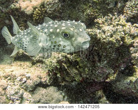 Puffer-fish not stressed but surprised by the diver