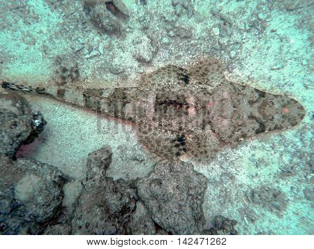 Crocodile fish in Read Sea waiting for food