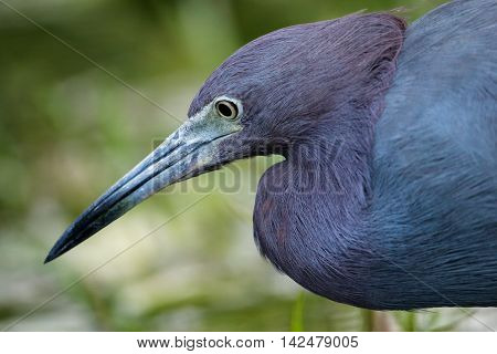 Portrait Of Little Blue Heron