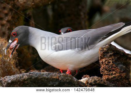 Swallow-tailed Gull (larus Furcatus) Eating Squid