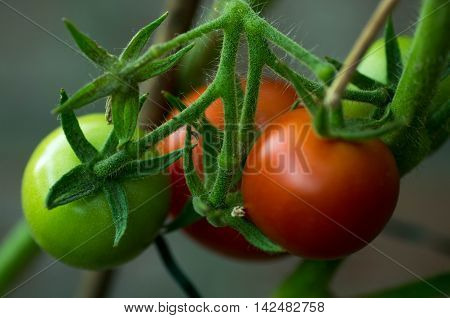 Red and green tomatoes hanging on the branch. Growing tomatoes in the garden. Organic home gardening.
