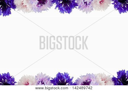 Bachelor Buttons (Centaurea cyanus) template with space for text