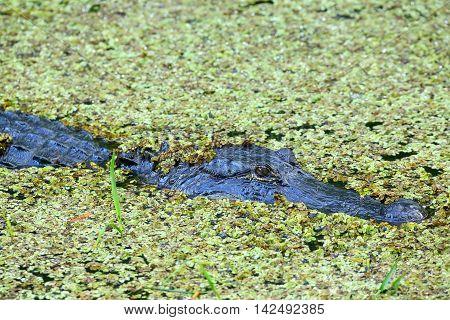 Alligator (Alligator mississippiensis) in a swamp, Florida