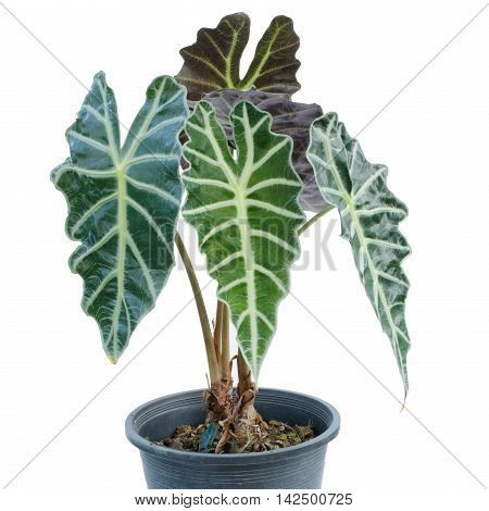 Kris Plani in pot isolated on white background