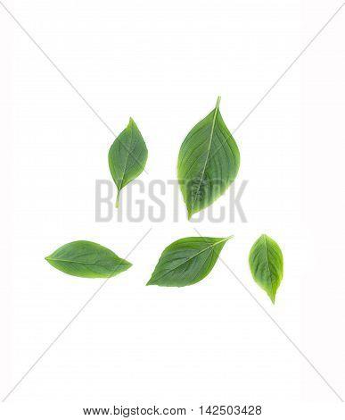 Basil leaf Fresh  Have medicinal properties Healthy body on white background.( cimum basilicum)