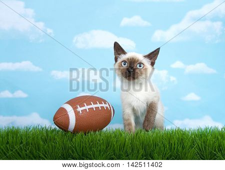 Siamese kitten sitting on grass looking up at the sky above viewer one paw raised american football sitting on the grass next to him her. Fun depiction for foot ball season