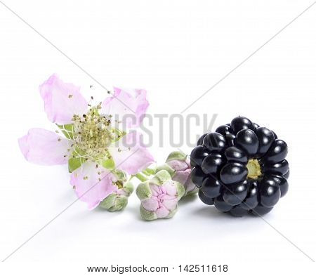 Fresh blackberries with flower and copy space. Isolated on white.