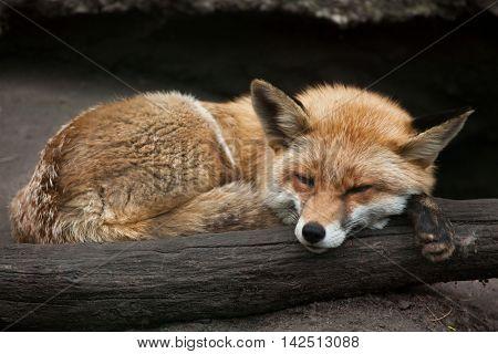 Red fox (Vulpes vulpes). Wildlife animal.