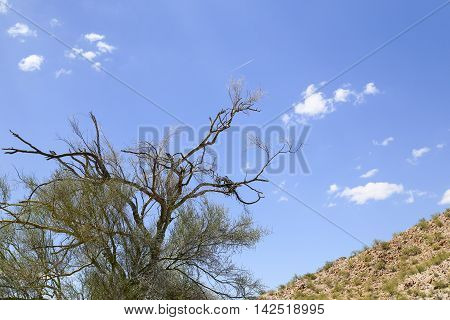 Almost dead tree in the Sonoran desert Arizona USA with part of a rugged hill and blue sky in the back. Some leaves are still growing on the tree.