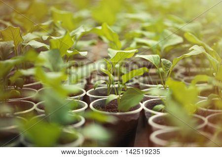 Green Seedlings Grown In A Row In Greenhouse