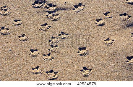 Seagull webbed foot print (tracks) on a sandy beach