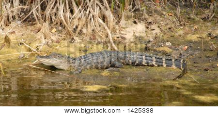 Young alligator on bank of marshy waterway in Florida poster