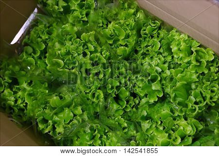 Harvest of green salad in paper box