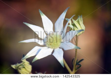 Australian Flannel Flower and buds (Actinotus helianthi) in the Royal National Park, Sydney, Australia