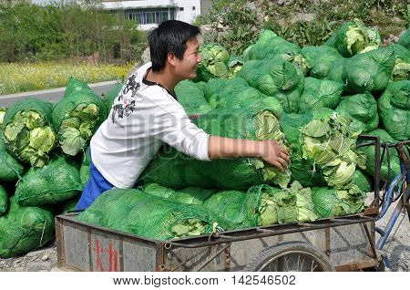 Pengzhou China - March 26 2010: Young man unloads bags of freshly picked cabbages from his bicycle cart at a farm co-op