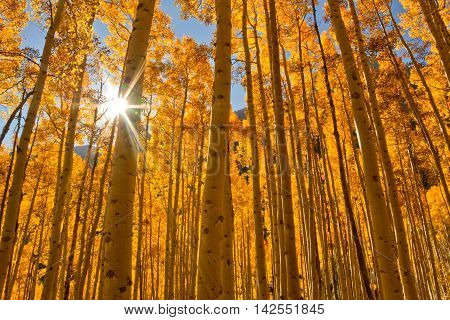 The sun shines through a grove of Aspen Trees during the Fall season in the mountains of Colorado