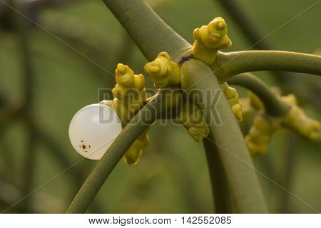 Close up of a mistletoe with fresh shoots and a white berry