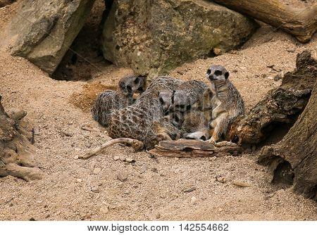 Meerkat Suricata Suricatta Family