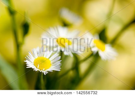 Bouquet of white daisy flowers against golden sunny background.