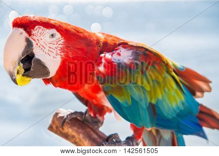 macaw a parrot eating a the grape.