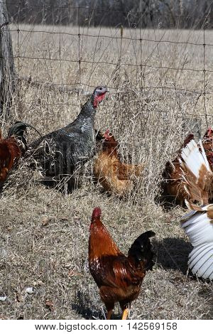 Wild bronze Turkey (Meleagris gallopavo) in with a mixture of domesticated hens, roosters and turkeys.