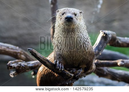 An otter sitting on a branch over the water