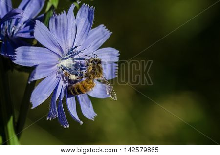 Bee Tirelessly Gathering Pollen from a Tiny Blue Flower