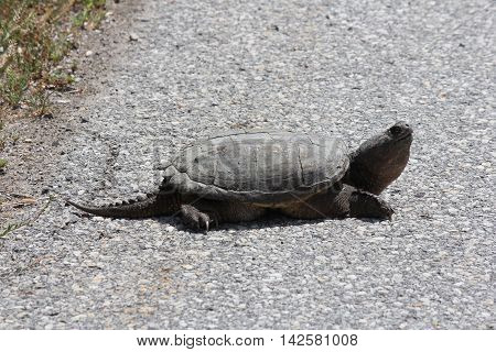 Snapping Turtle (Chelydra serpentine) trying to cross a paved road