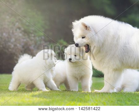 Female Samoyed dog with puppies are shining in light low sun.