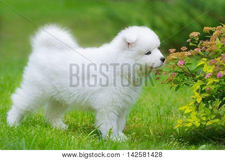 Samoyed dog puppy smelling flower on summer day