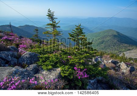 Flowering rhododendron on top of mountain in the forest