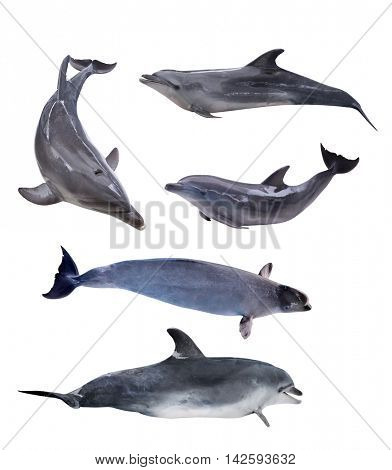 five grey dolphins isolated on white background