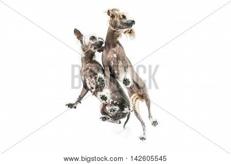 Two chinese crested dogs stand in the studio on the white background. Photographed from below. Horizontal.